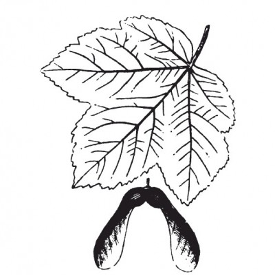 Sycamore maple (foliage illustration)