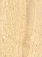 Ailanthus (Ailanthus altissima)