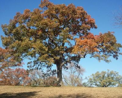White Oak Tree (dendritic form)