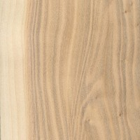 White Poplar (Populus alba)