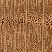 Willow Oak (endgrain 10x)